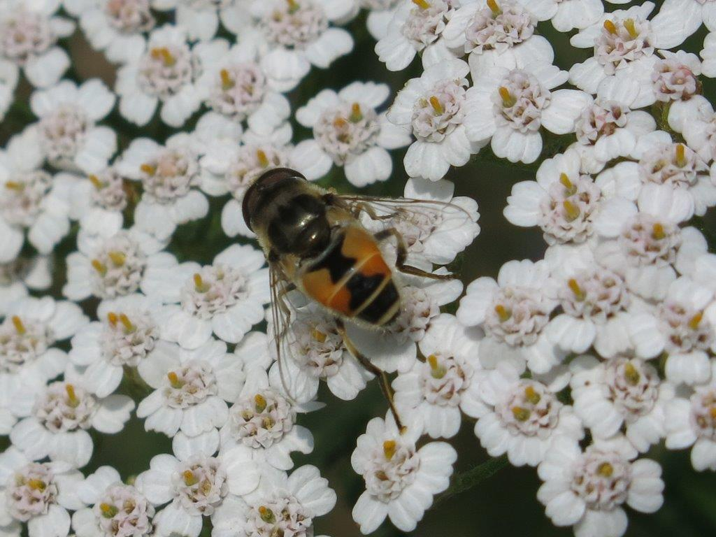 Eristalis abusiva o arbustorum